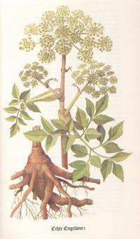 Kräuter - Engelwurz