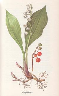 Kräuter - Maiglöckchen