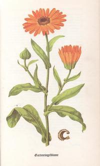 Kräuter - Ringelblume
